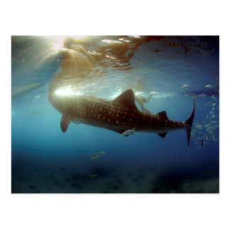 Whale shark feeding postcard