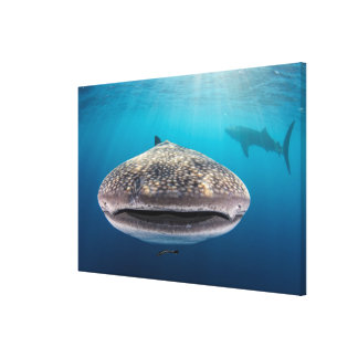 Whale Shark, Front view, Indonesia Canvas Print