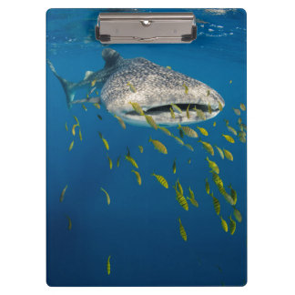Whale Shark with fish, Indonesia Clipboard