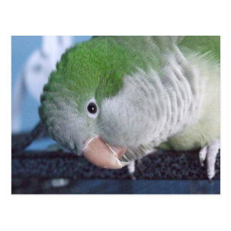 Whatcha Doin'? Quaker Parakeet Postcard