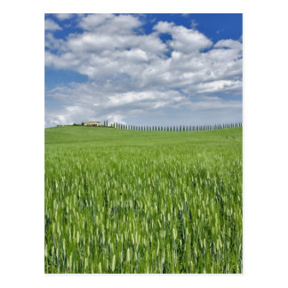 Wheat field and drive lined by stately cypress postcard