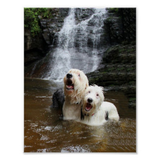 When Old English Sheepdogs go swimming! Poster