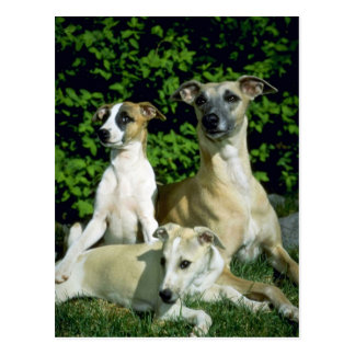 Whippet and pups postcard