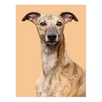 Whippet dog beautiful photo postcard