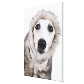 Whippet dog wearing fur coat, studio shot canvas print
