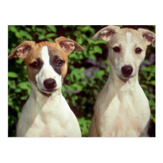 Whippets Postcard