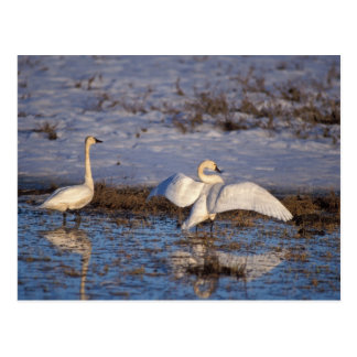 whistling swan, Cygnus columbianus, stretching Postcard