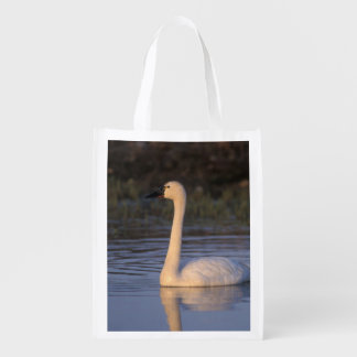 Whistling swan or tundra swan, swimming in the reusable grocery bag