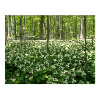 white A field of trilliums, Niagara Falls flowers Postcard