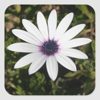 White African Daisy Square Sticker