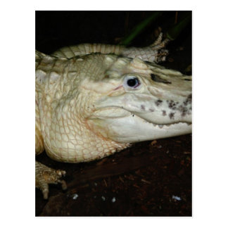 White Albino Alligator Photo , Gator  Image Postcard