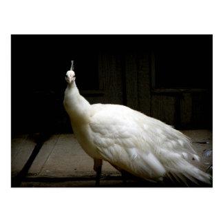 White Albino Peacock Postcard