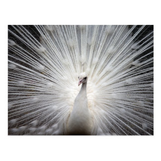 White Albino Peacock Stunning Wall Art Postcard