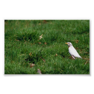 White American robin Posters