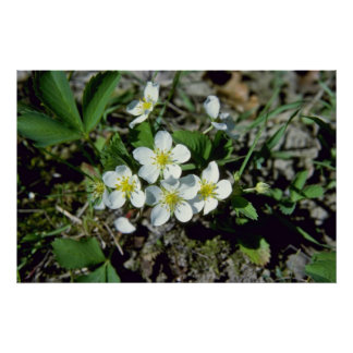 white American Strawberry (Fragaria Vesca Var. Ame Print