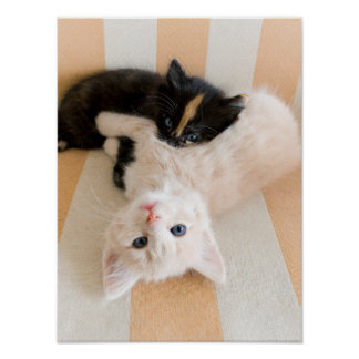 White And Black Kittens Poster