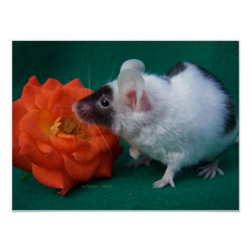 White and Black mouse Orange Tea Rose Posters