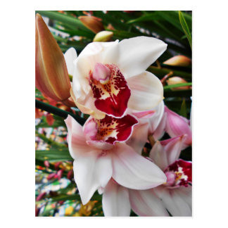 White and Pink Phalaenopsis Orchid Postcard