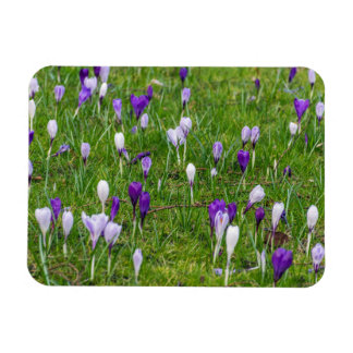 White and purple crocuses fridge magnet