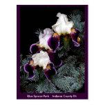 White and Purple Iris Postcard