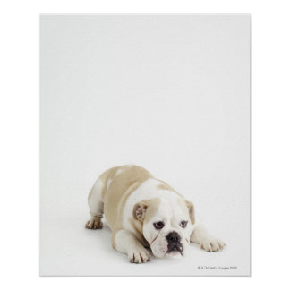 White and tan bulldog poster