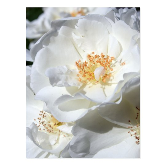 White and White Roses Floral Photography Postcard