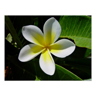 White and Yellow Frangipani blossom Poster