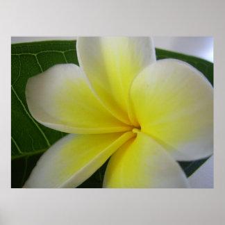 White And Yellow Frangipani Flower Poster