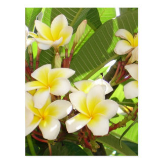 White and Yellow Frangipani Flowers with Leaves in Postcards