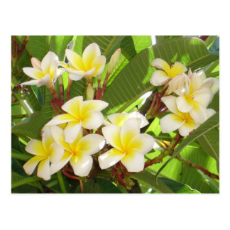White and Yellow Frangipani Flowers with Leaves in Postcard