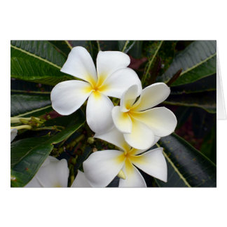 White and Yellow Plumeria Flowers Card