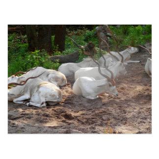White Antelope Postcard