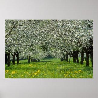 white Apple trees flowers Poster