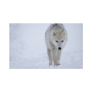 White Arctic wolf walking in the snow Canvas Print