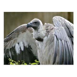 White-backed Vulture with open wings Postcard