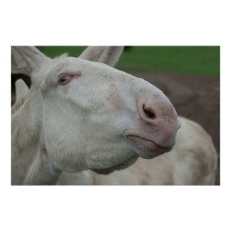 White Baroque Donkey Perfect Poster