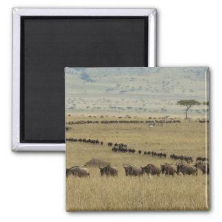 White-bearded Wildebeest or Gnu, Connochaetes 2 Square Magnet
