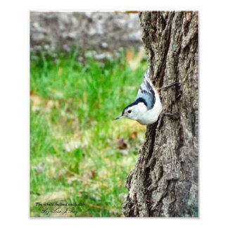 White Bellied Nuthatch print