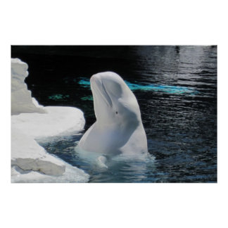 White Beluga Whale Poster