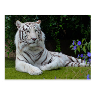 White Bengal Beautiful Tiger Cat Resting Postcard