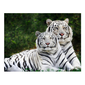 White Bengal Tiger Couple Postcard