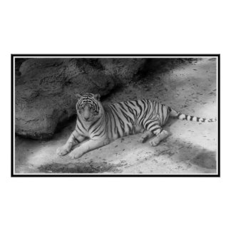 White Bengal Tiger Print in Black and White