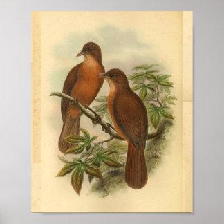 White Billed Wood Shrike Vintage Brown Bird Print