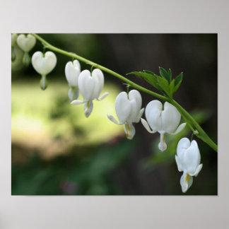 White Bleeding Heart Flowers Poster