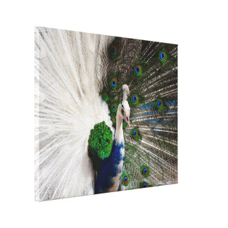 White Blue Peacock Canvas Print