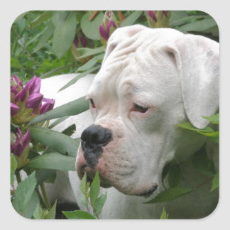 White Boxer in Pink Rhodies Square Sticker