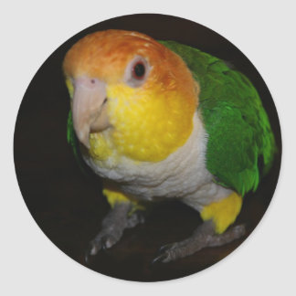 White Breasted Caique Round Sticker