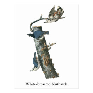 White-breasted Nuthatch, John Audubon Postcard