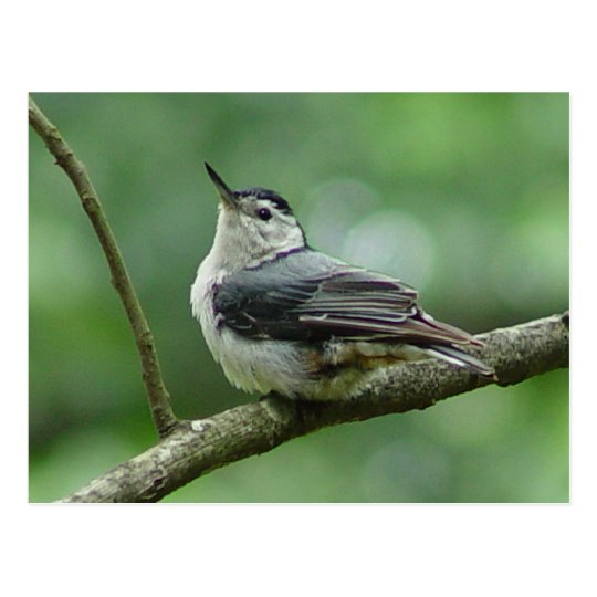 White Breasted Nuthatch Postcard 2