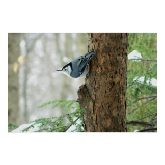 White Breasted Nuthatch Winter Poster
